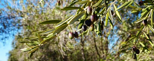 olives adelaide small